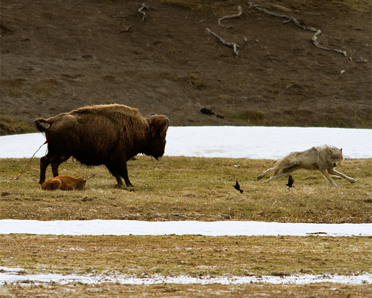 Grey Wolf Jumping Away from Momma Bison at Norris Junction.jpg