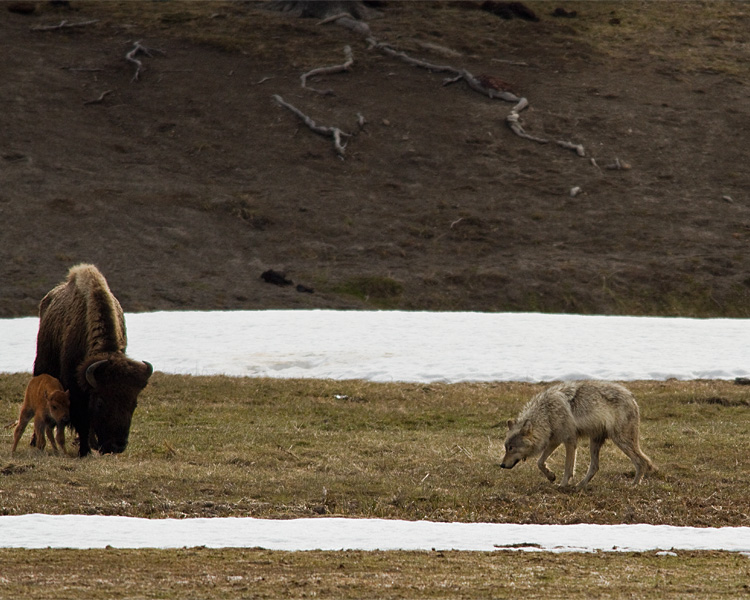 Grey Wolf Menacing Bison Calf Near Norris Junction.jpg