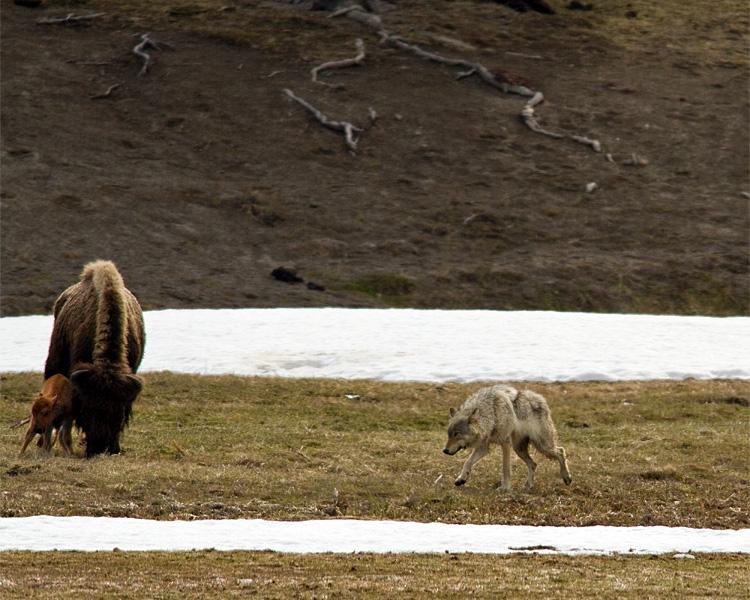 Grey Wolf Darting at Bison Calf.jpg
