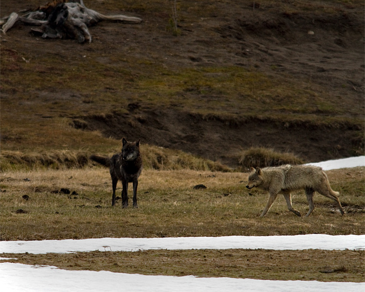 Grey and Black Wolves Near Norris Junction.jpg