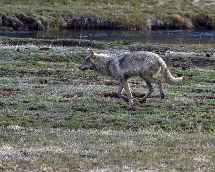 Grey Wolf Running by the Gibbon River 2.jpg