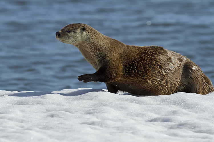 Otter Reaching Out.jpg