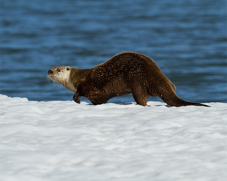 Otter Slinking Along the Snow at Mary Bay.jpg