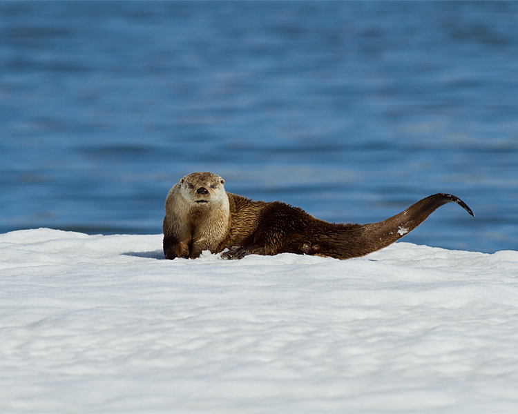 Otter with Tail Coiled.jpg