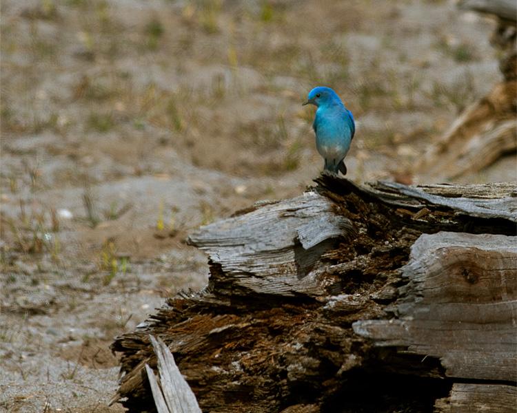 Mountain Bluebird at Mary Bay.jpg