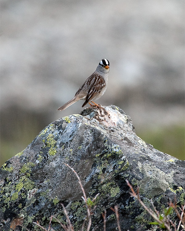 White Crowned Sparrow on a Rock.jpg