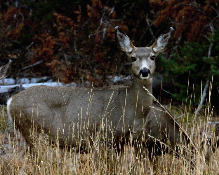 Deer in the Tall Grass.jpg