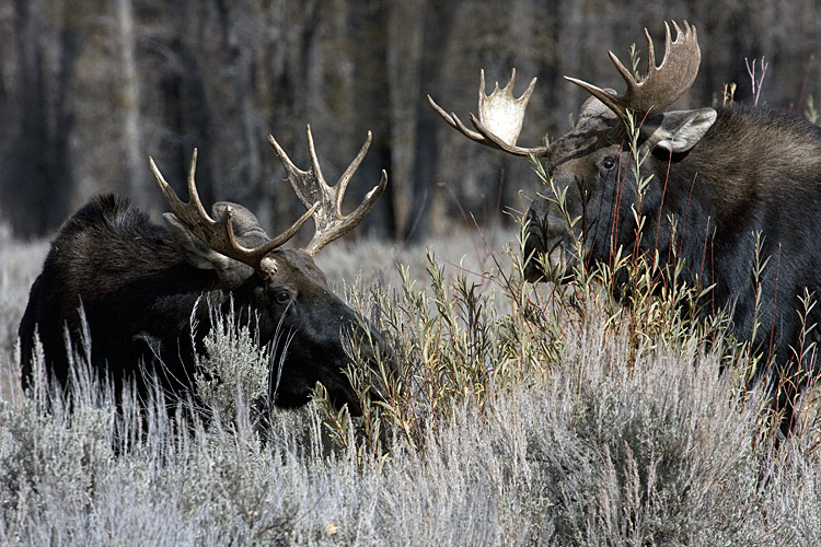 Two Bull Moose at Gros Ventre.jpg