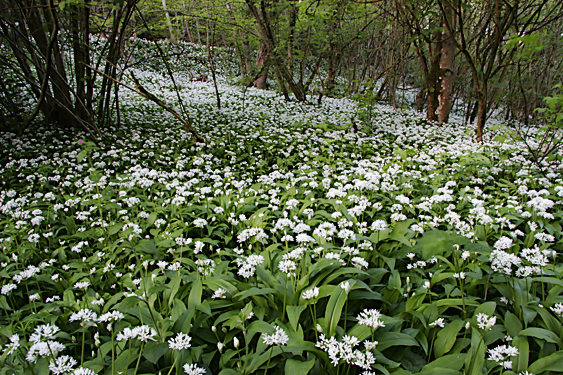 Wild Flowering Garlic