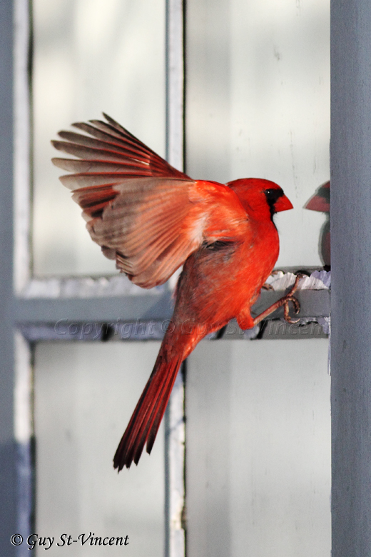Cardinal Seeing a Competitor (part 3): How come I dont seem to scare him?