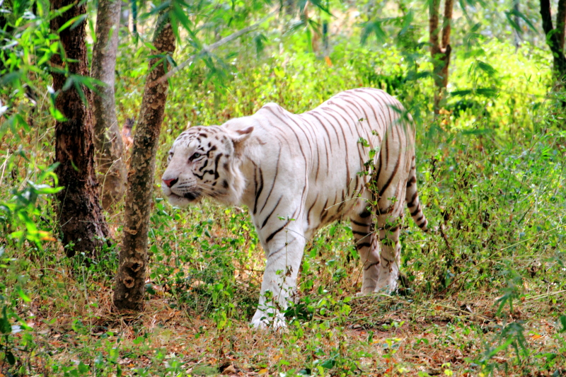 White Tiger, Bannerghatta National Park, Karnataka