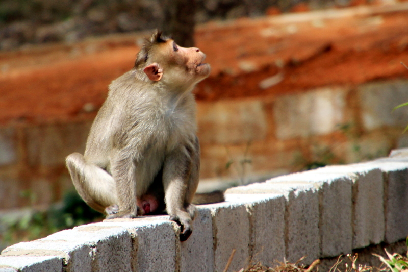 Monkey, Bannerghatta National Park, Karnataka