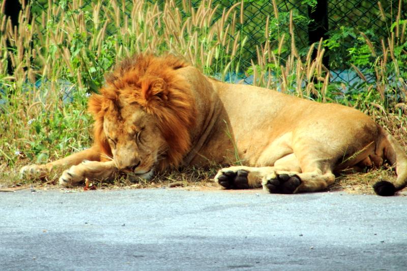 Lion, Bannerghatta National Park, Karnataka