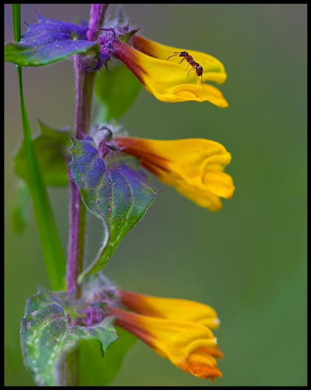 Natt & Dag (Melampyrum nemorosum L.) and ant