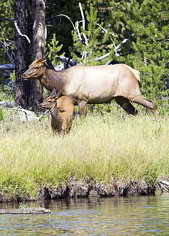 Female Mule Deer and Fawn