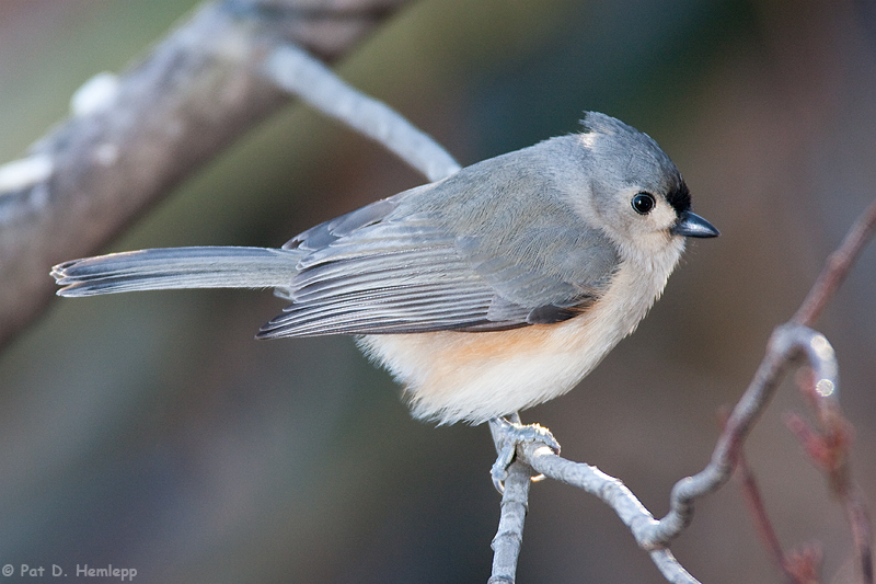 Titmouse at rest