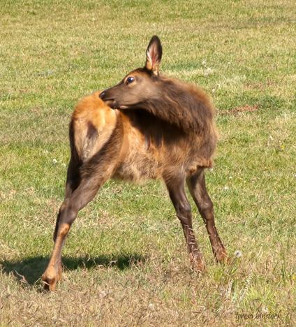 z IMG_1375 Young elk primps