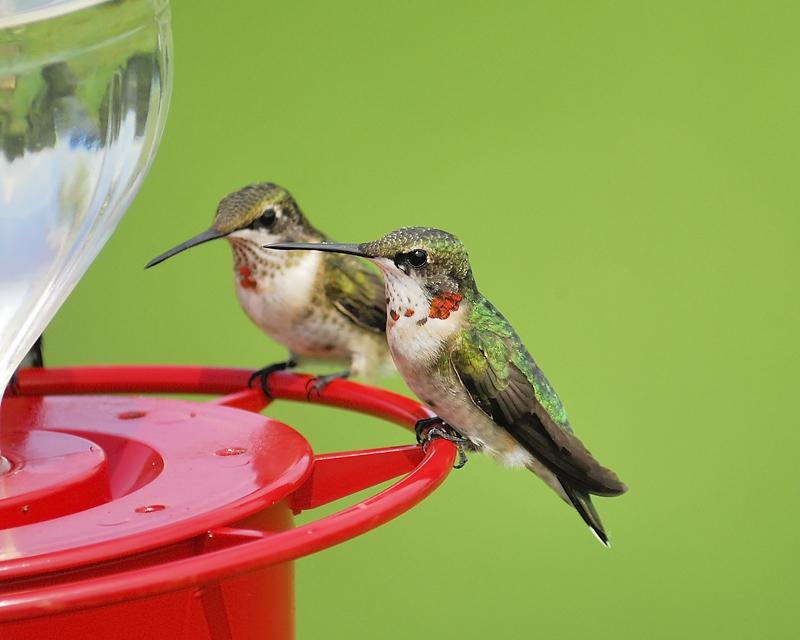 ruby-throated hummingbird BRD4305.JPG
