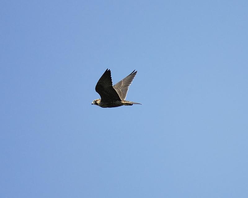 peregrine falcon BRD4433.JPG