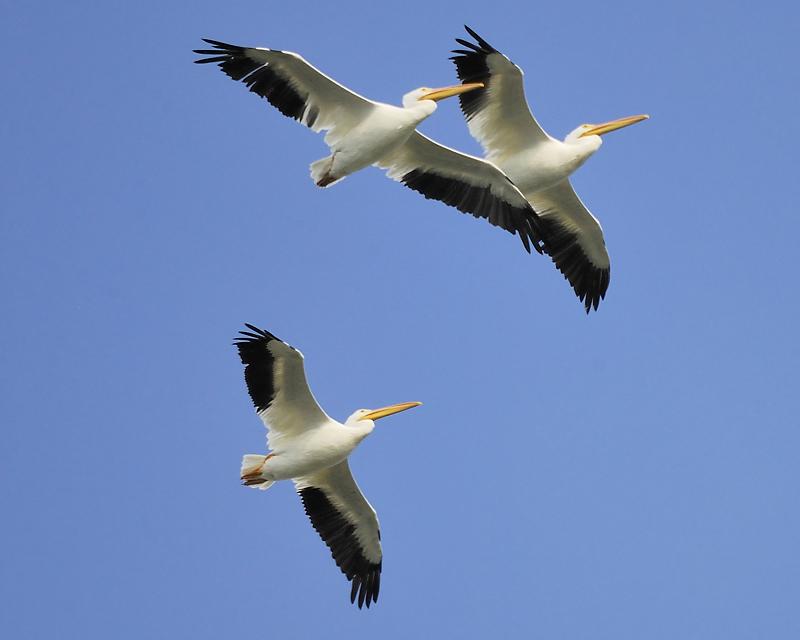 white pelican BRD4583.JPG