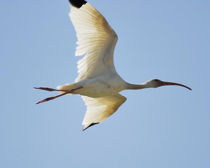 white ibis BRD4961.JPG