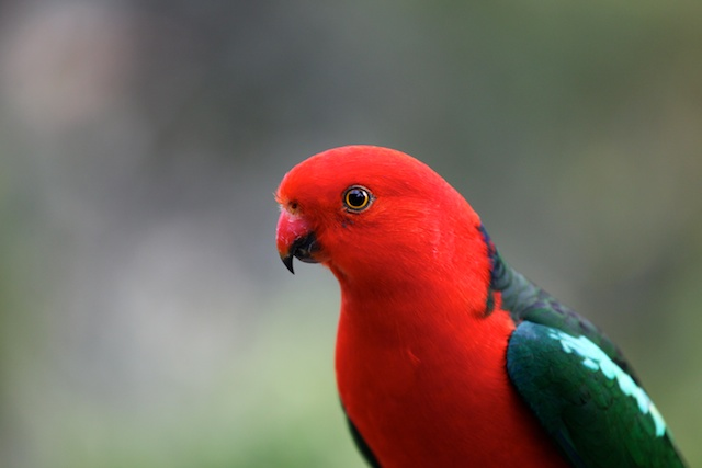 King Parrot male - 1
