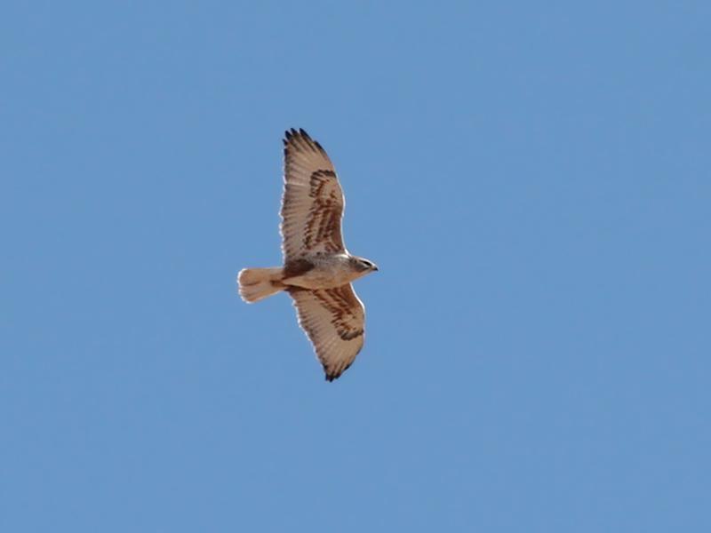 IMG_6246 Ferruginous Hawk.jpg
