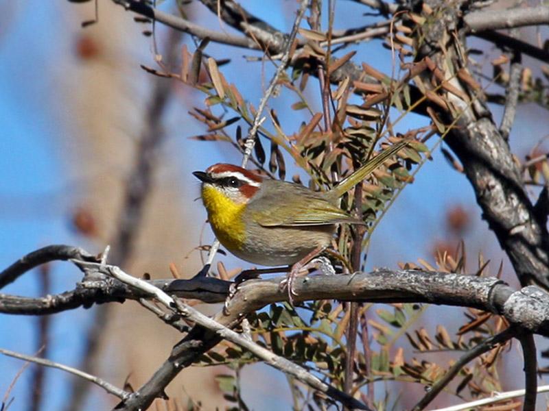 IMG_6985 Rufous-capped Warbler.jpg