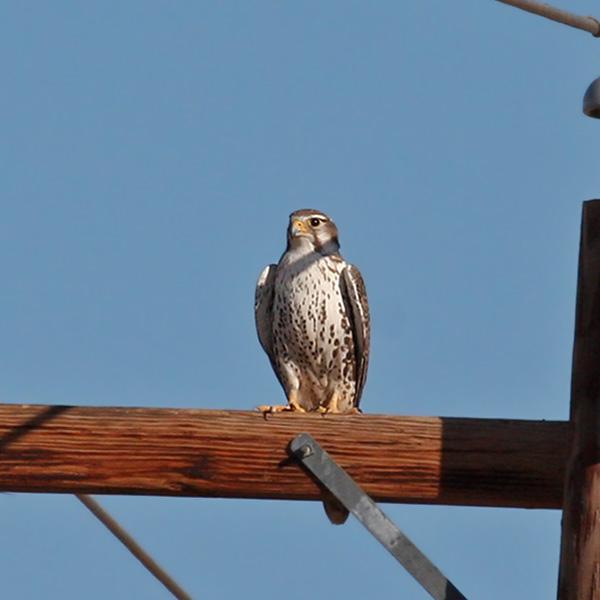 IMG_8061a Prairie Falcon.jpg