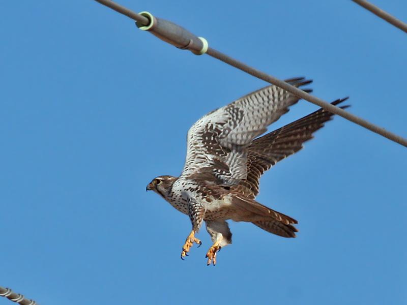IMG_8065a  Prairie Falcon.jpg