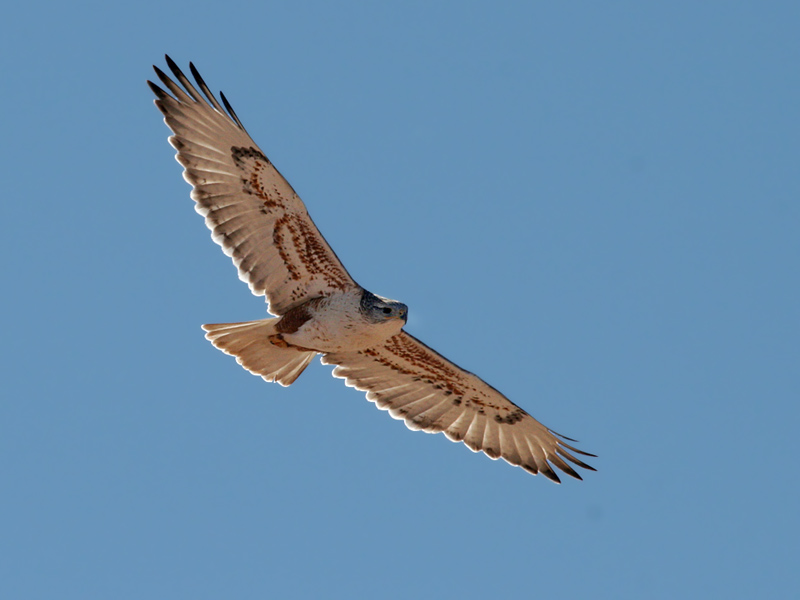 IMG_7882a Ferruginous Hawk.jpg