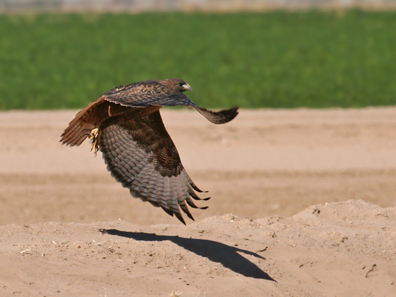 IMG_7923 Red-tailed Hawk.jpg