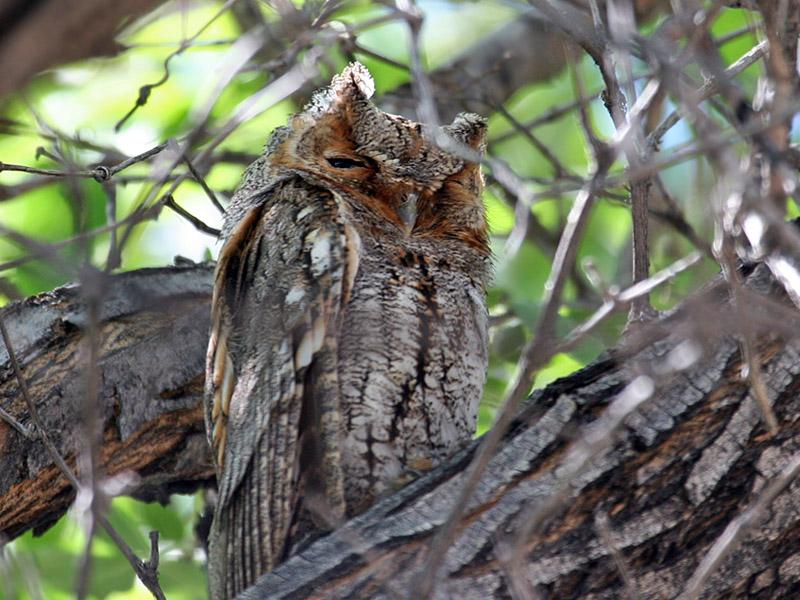 IMG_4847 Flammulated Owl.jpg