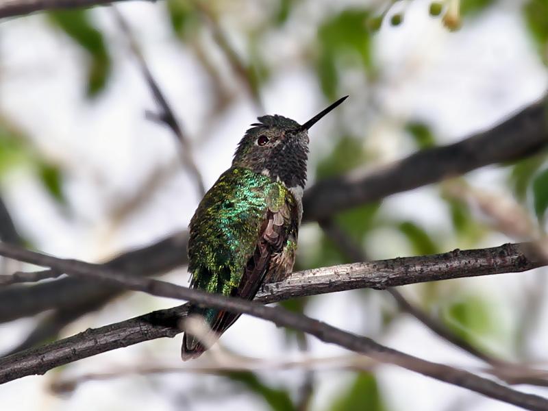 IMG_4785 Broad-tailed Hummingbird.jpg