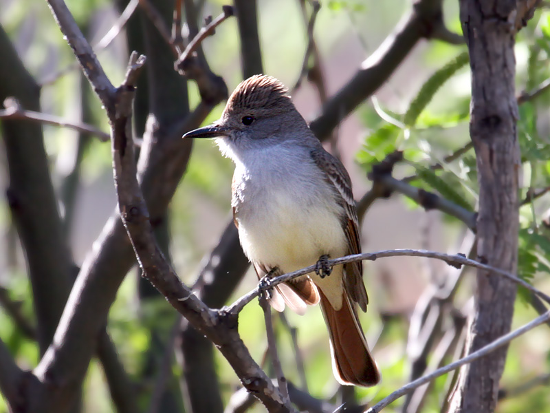 IMG_4924 Brown-crested Flycatcher.jpg