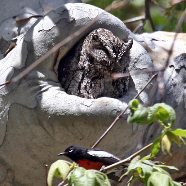 IMG_9825a Whiskered Screech Owl.jpg