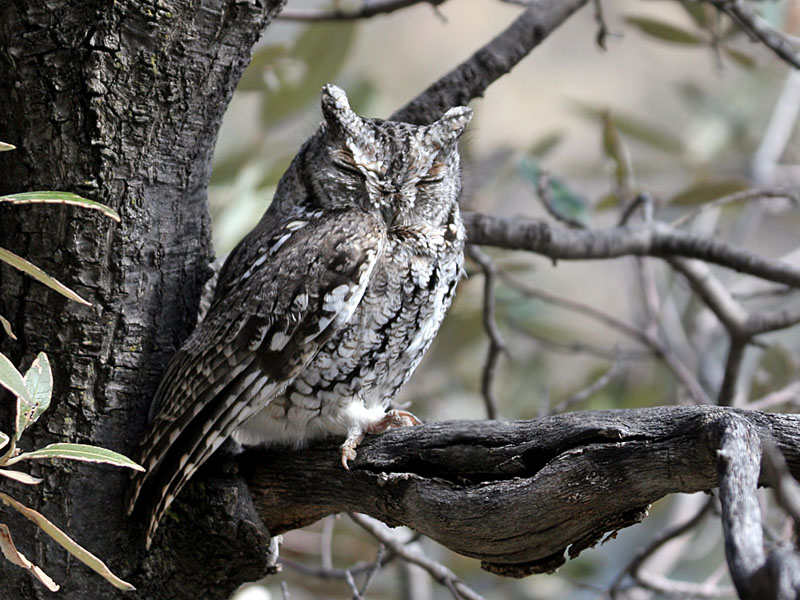IMG_0344  Western Screech Owl.jpg