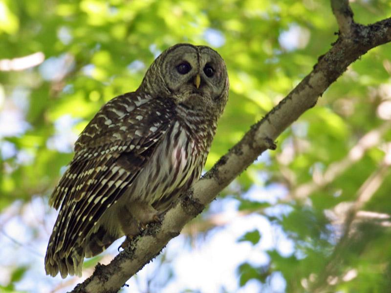 IMG_9413 Barred Owl.jpg