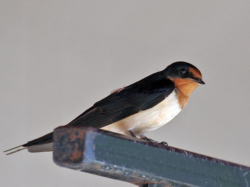 IMG_4871 Barn Swallow.jpg