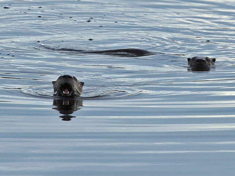 IMG_5899 River Otters .jpg