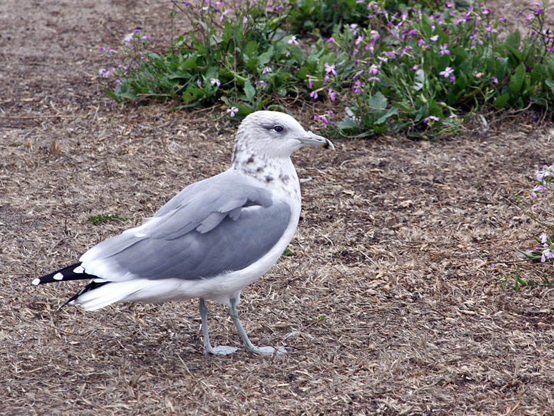 IMG_4988 California Gull.jpg