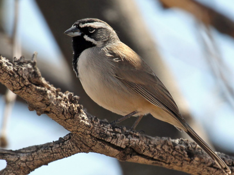 IMG_8640 Black-throated Sparrow.jpg