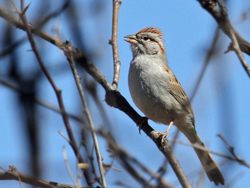 IMG_8847 Rufous-winged Sparrow.jpg