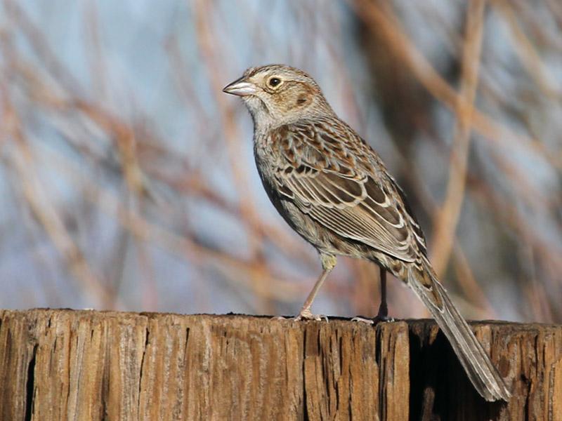 IMG_9086 Cassins Sparrow.jpg