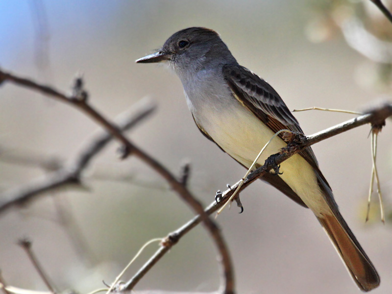 IMG_0107 Ash-throated Flycatcher.jpg