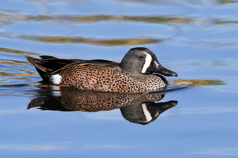 IMG_3448 Blue-winged Teal.jpg