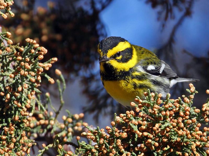 IMG_7471 Townsends Warbler - male.jpg
