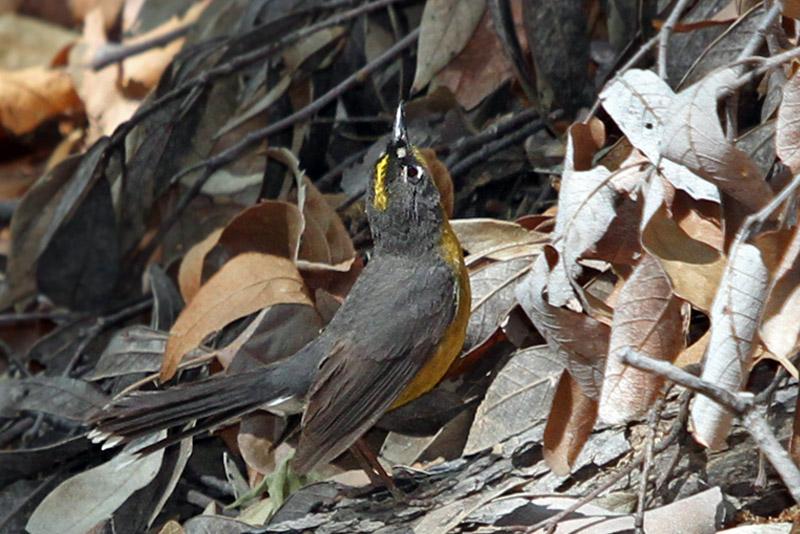 IMG_2433a Fan-tailed Warbler.jpg