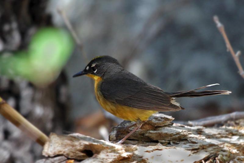 IMG_2300a Fan-tailed warbler.jpg