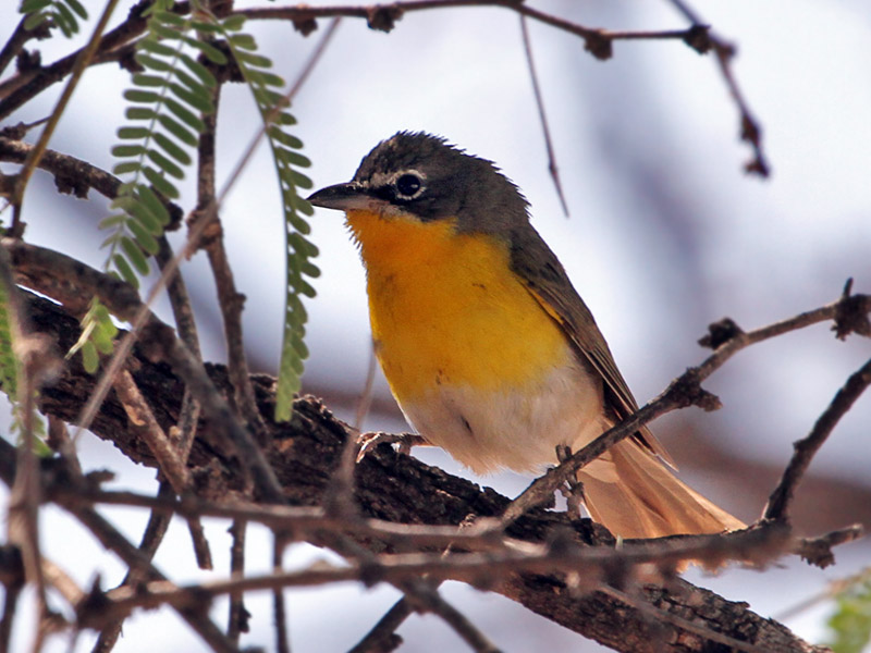IMG_9537 Yellow-breasted Chat.jpg
